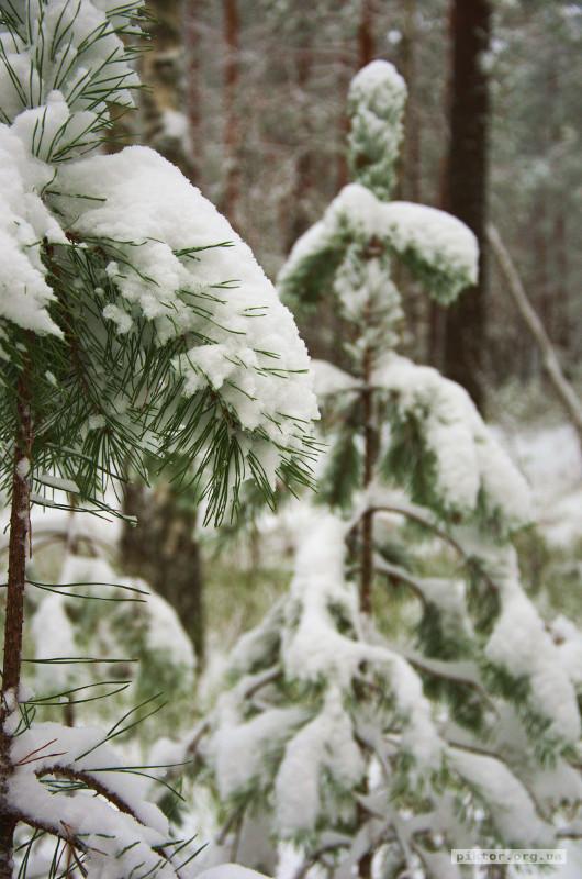 Засніжений ліс