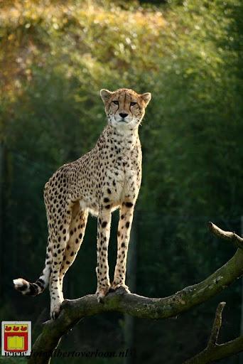 cheetahs vieren hun eerste verjaardag Zoo Parc Overloon (4) 11-11-2012.JPG