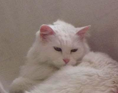 I Have A Turkish Angora Cat From Ankara