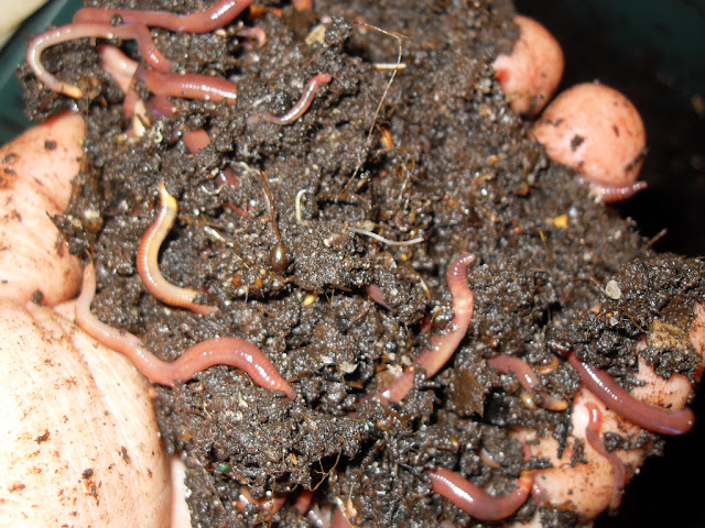 worms in their castings
