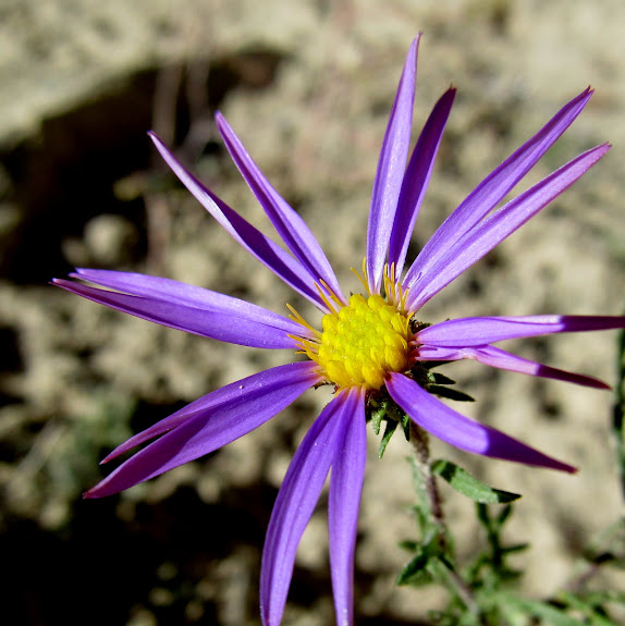 There were still a few Aster flowers in bloom