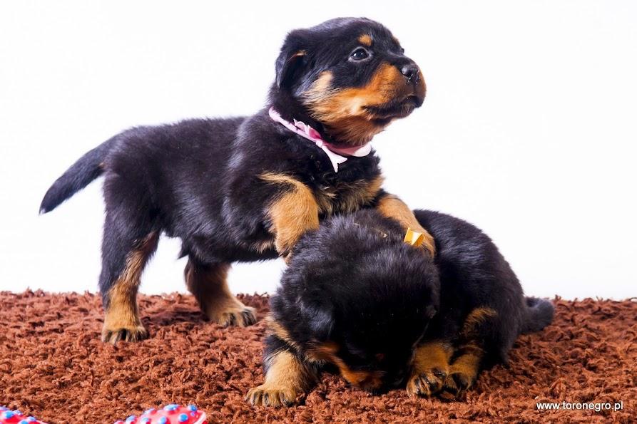 Rottweiler suczki toro negro