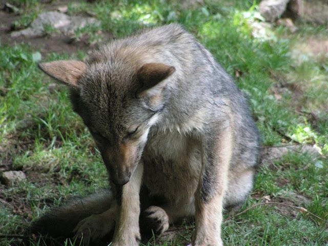 Les Loups de Chabrière PICT0403