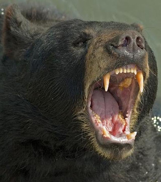 Urso pardo vs Urso polar 25