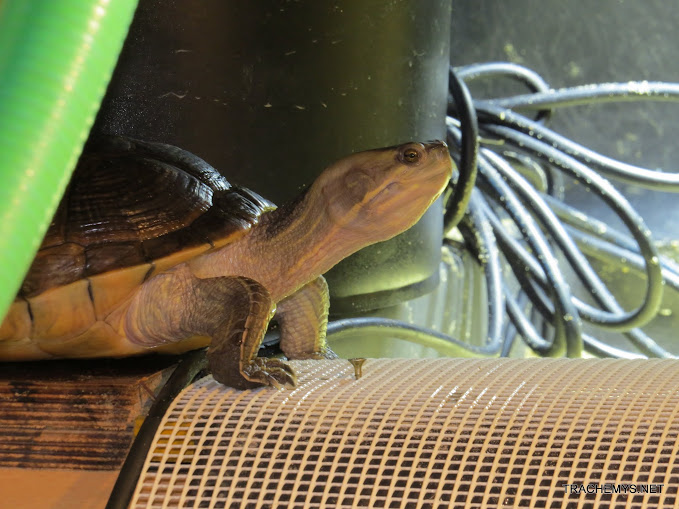 mes tortues (BK) - Page 10 IMG_2157