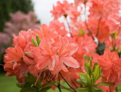 Las azaleas para la primavera cuidado de plantas - Cuidado de azaleas en interior ...