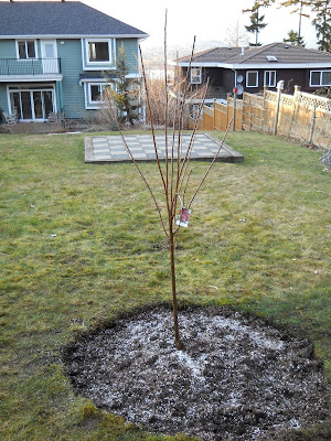 Newly planted Methley plum tree