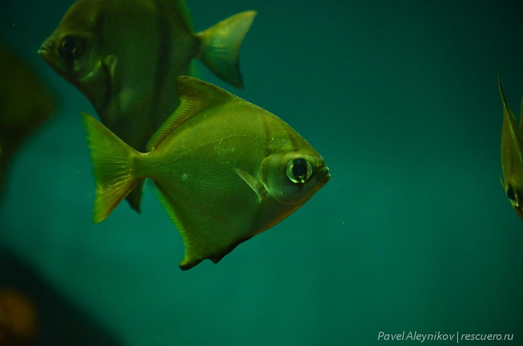 Рыба-ласточка
