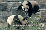 Chinese Panda Photo 4