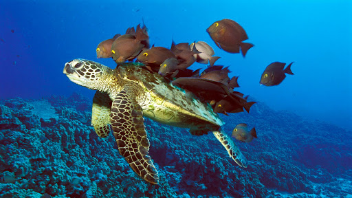 Green Sea Turtle Being Cleaned by Reef Fishes, Hawaii.jpg