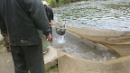 Váženie pstruha potočného (dvojročná ryba od 30 do 40cm)