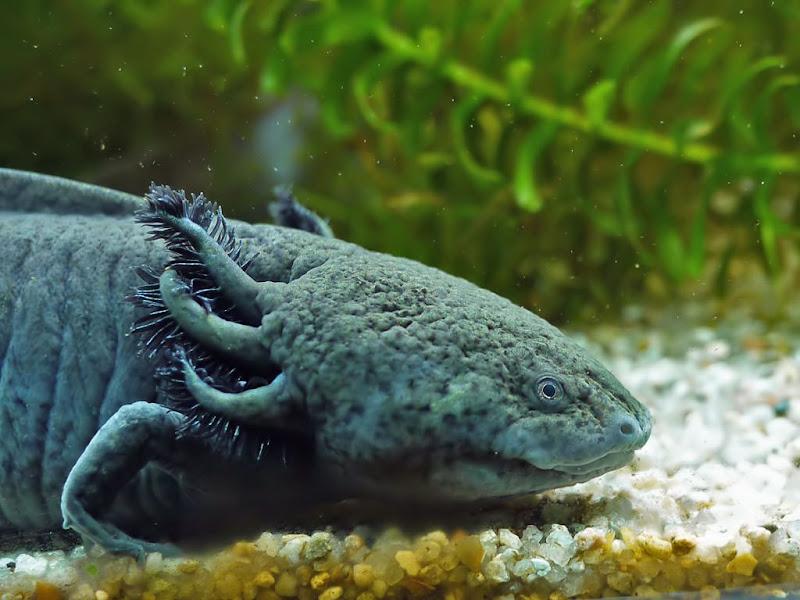 Axolotl G1280540