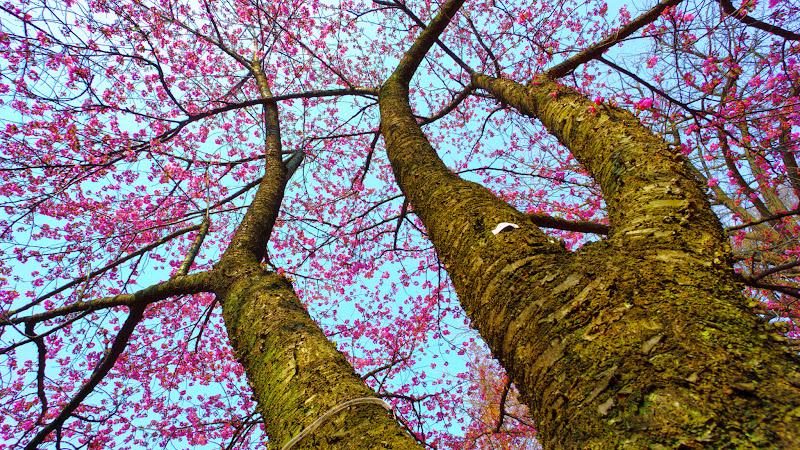 新宿御苑 オオシマザクラ(大島桜)