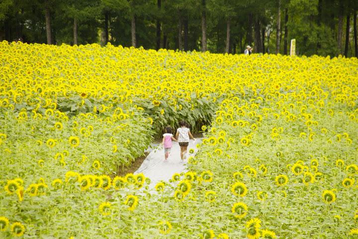 がんばろう!日本・ひまわり迷路