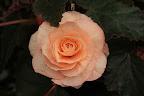 БЕГОНИЯ - неколючая роза. - Страница 2 IMG_1269