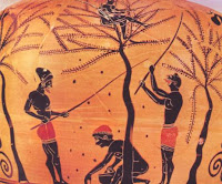 συλλογή ελιάς,συλλογή καρπών,φαγητό από δέντρα,collection of olives, fruit picking, eating from trees,