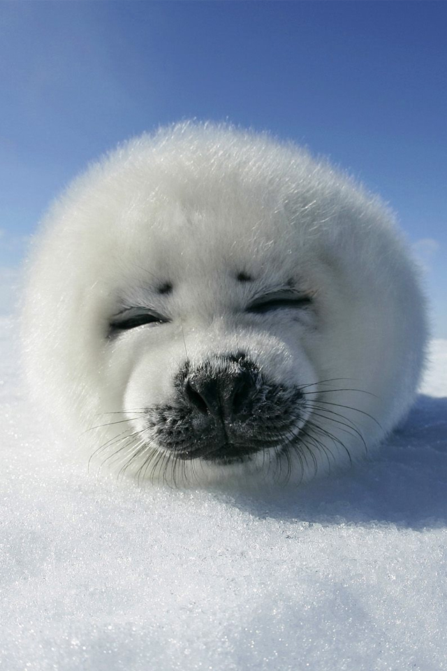 Cute Harp Seal Photo Wallpaper For iPhone 4