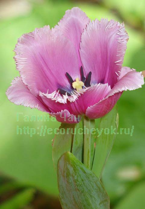 Голландский тюльпан.
