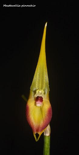 Alaticaulia pinocchio ( ex. Masdevallia pinocchio ) IMG_0753b%2520%2528Medium%2529