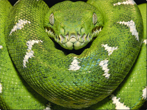 Emerald Tree Boa, Amazon, Equador.jpg