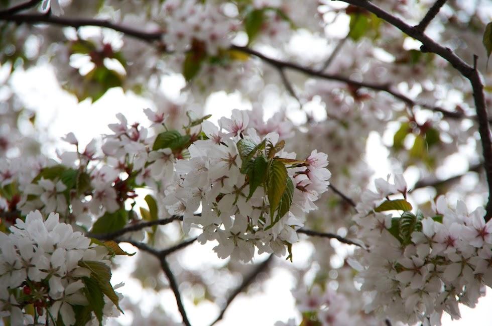 庭内で咲き誇る桜