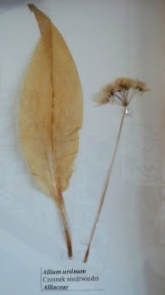 Czosnek niedźwiedzi okaz zielnikowy Allium ursinum