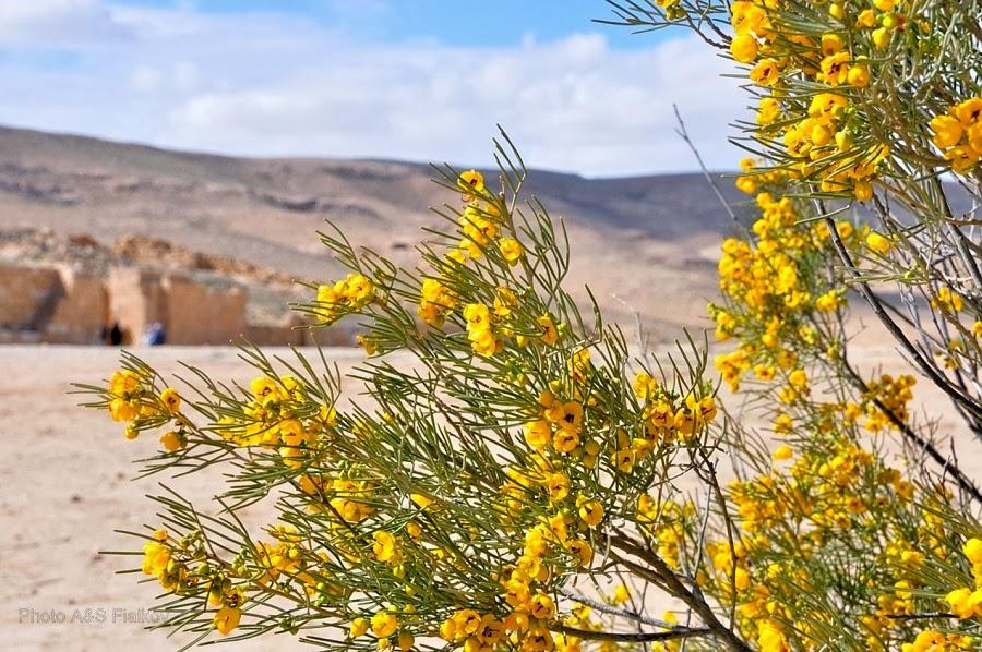 Фоторепортаж: гид Светлана Фиалкова, экскурсия в Негев, национальный парк Мамшит. Цветущий куст Ротема - легендарного растения пустыни.