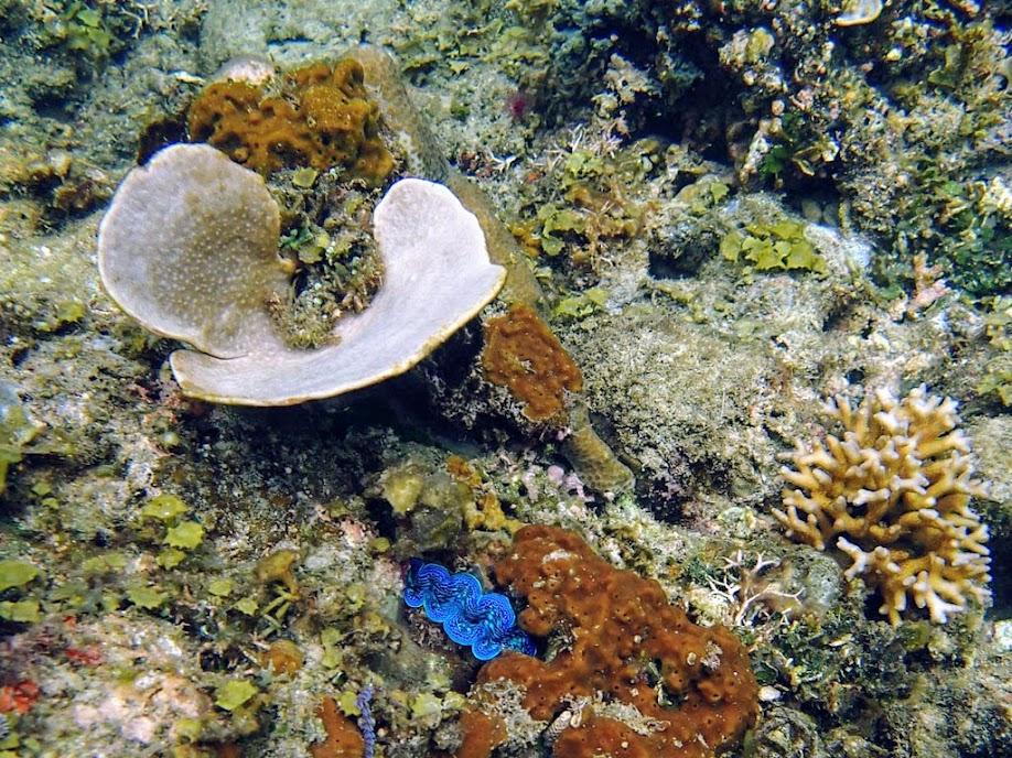 Phyllospongia lamellosa (Fan Sponge), El Nido, Palawan, Philippines.