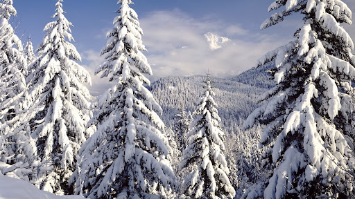 Snow Covered Evergreens, Mt. Hood, Oregon.jpg