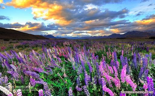 Lộng lẫy sắc hoa lupin ở New Zealand