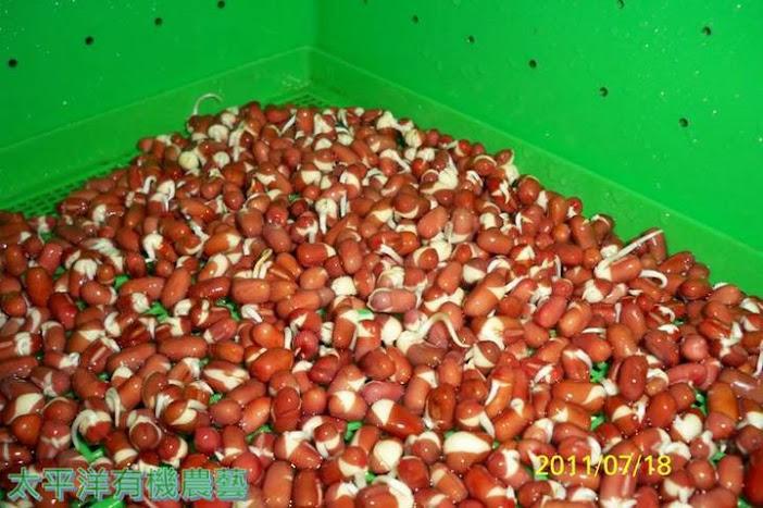 發芽紅豆(催芽紅豆)