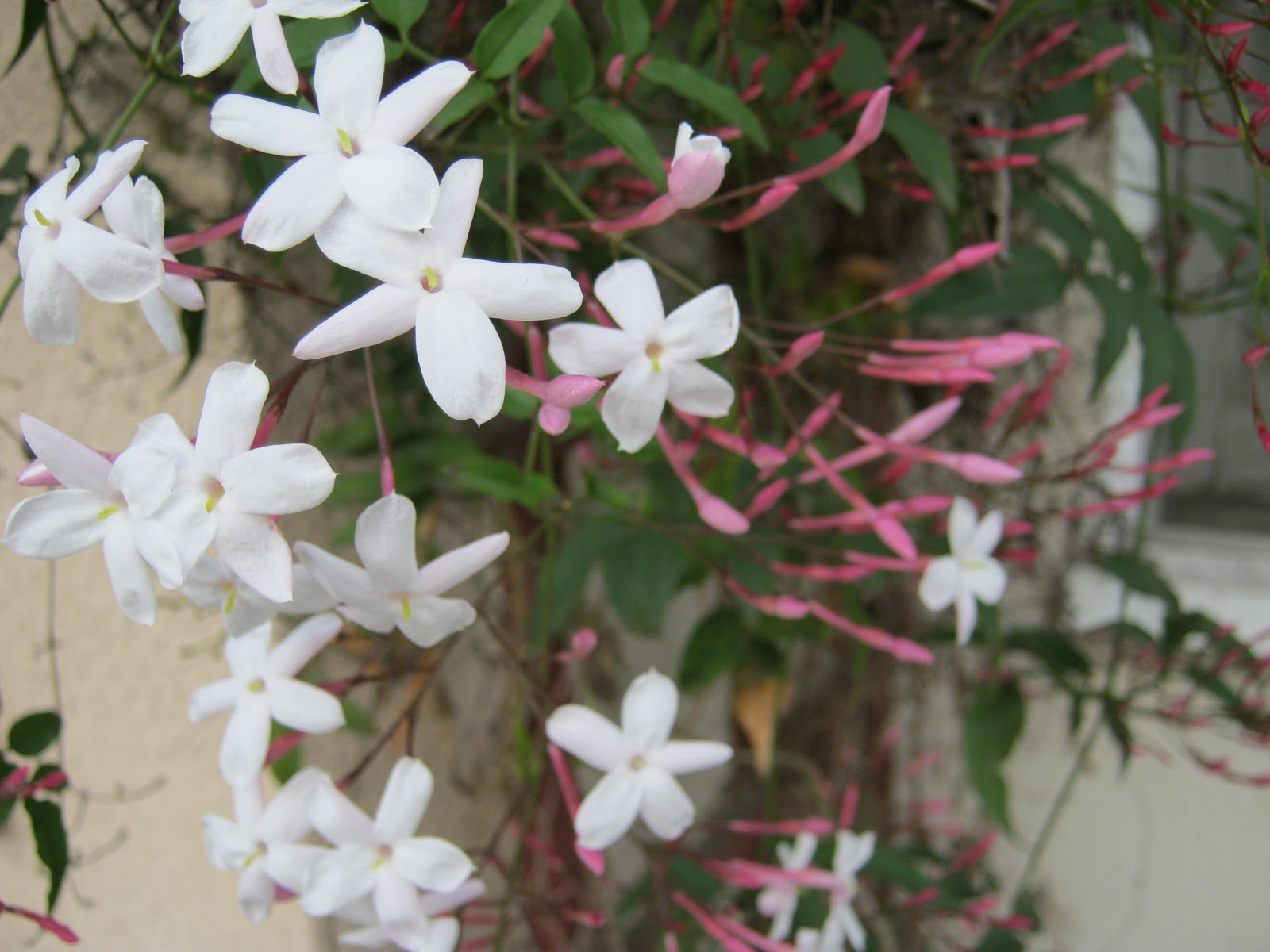 What grows in fullerton pink jasmine pink jasmine izmirmasajfo