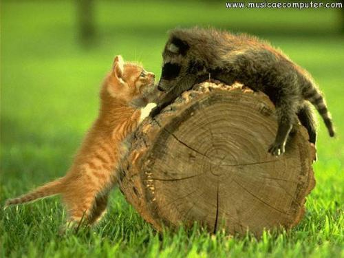gatto e procione