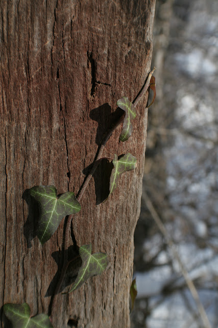 Winter Ivy