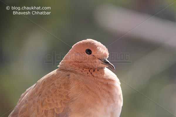 Cutie Laughing Dove [Stigmatopelia senegalensis] - Little Brown Dove