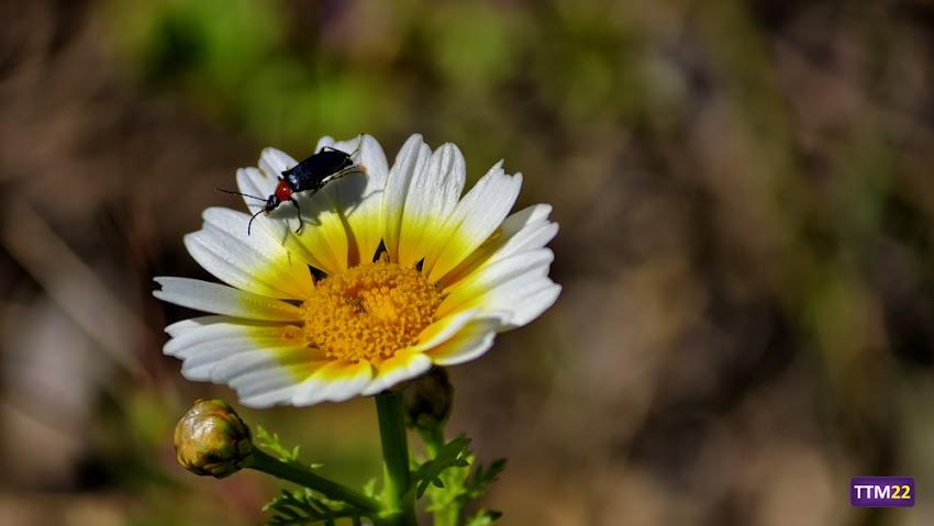 Nikon D5100, 55-200 mm, Naturaleza, Fauna, Flora, HDR, Escarabajo, Margaritas, Macro, Polen