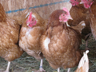 10 Things I Love About Chickens