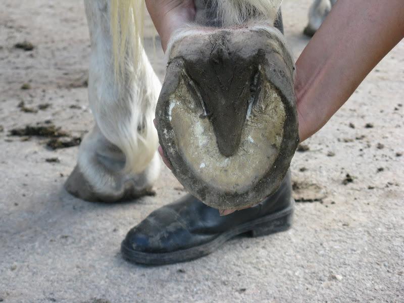 Besoin d'avis et conseils sur les pieds de mon cheval IMG_2250