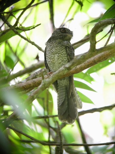 El egotelo de Nueva Caledonia