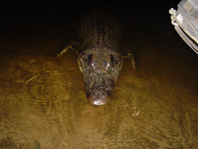 Questões e Fatos sobre Crocodilianos gigantes: Transferência de debate da comunidade Conflitos Selvagens.  - Página 3 5m%2520rio%2520cururu