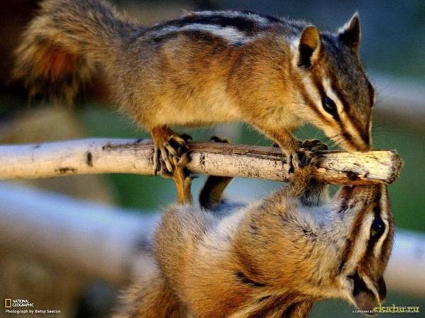 Пара бурундуков играет на ветке дерева, Скалистые горы в Колорадо