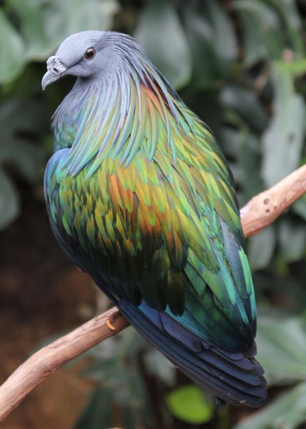 14 Most Beautiful Birds of the World - Nicobar Pigeon