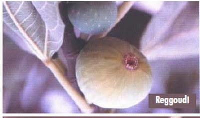 أنواع التين الأصيلة بالمغرب