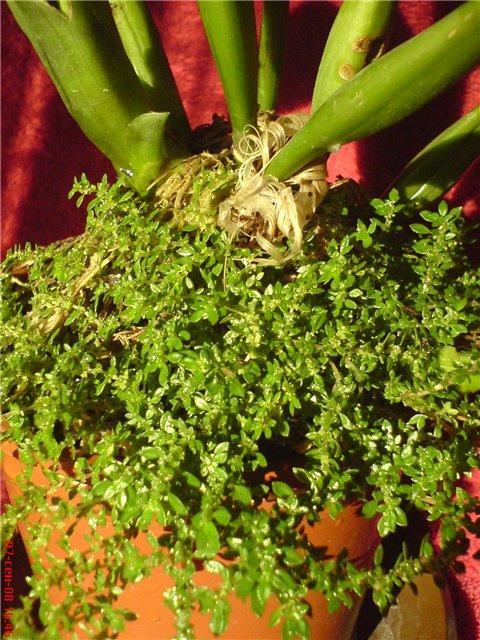 Пилея (Pilea) Pilea%252520microphylla