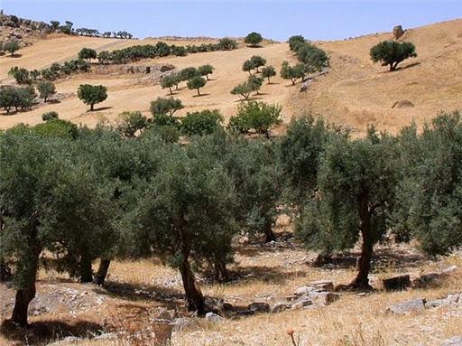 Сбор оливок в Тунисе фото