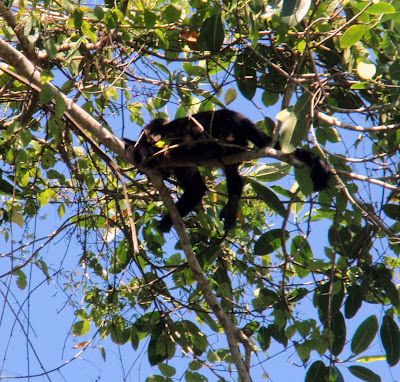 Monkey Napping in a Tree