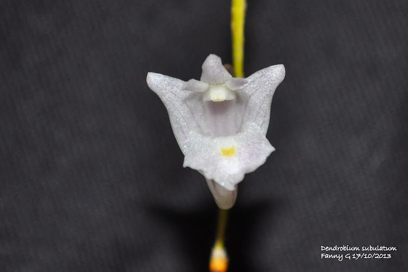 Dendrobium subulatum CSC_0011
