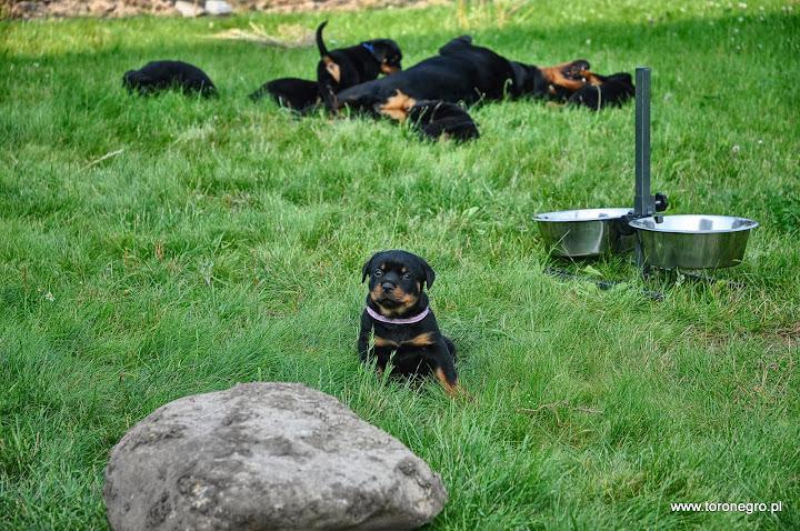 Hodowla rottweilerów domowych