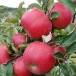 Najdared яблоня