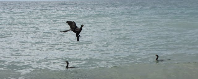 cormorants flying in